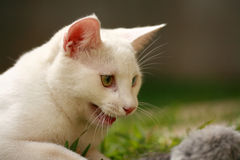 Angry Cat. An enraged white cat attacking a rat Stock Image