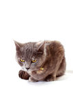 Angry cat. Sits on white background royalty free stock photo