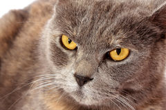 Angry cat. Sits on white background royalty free stock images