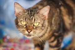 Angry cat with annoyed expression, standing and looking at the c. Amera. Beautiful background. Funny whiskers. Local Thai cat. Thailand royalty free stock photos