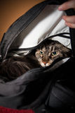 Angry cat in backbag Stock Images