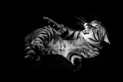 Angry cat. On a black background royalty free stock photo
