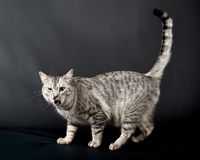 Angry cat in black background, cat portrait, Cat in dark background, Cat portrait close up, cat in studio with space for Stock Photo