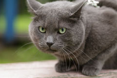 Angry cat defending his territory Royalty Free Stock Photo
