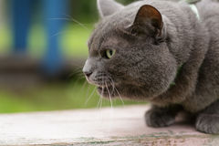 Angry cat defending his territory Royalty Free Stock Photos