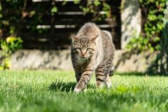 Angry Cat Defending Territory. Angry domestic cat defending its territory in a green grass garden stock photos