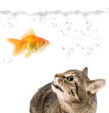 Angry cat and gold fish. On white Stock Photo