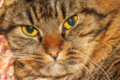 Angry cat. An angry gray and brown cat stock images