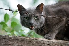 Angry cat growls sitting on fence behind barbed wire. Aggressive grey cat defending his territory. stock images