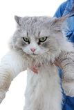 Angry cat in hands Royalty Free Stock Photo