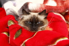 Angry cat. On her bed stock photography