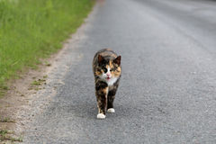 Angry Cat Keeps a Watch on the Road Stock Images