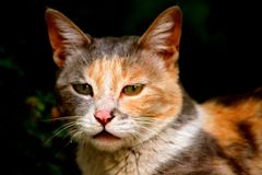 The angry cat of leh. Cat whiskers pet leh green eyes royalty free stock photo