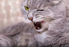 The angry cat lies and widely licks lips, having blinked an eye Royalty Free Stock Images