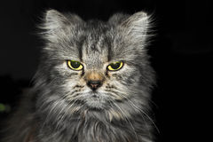 Angry cat. Looking at the camera in the dark royalty free stock images