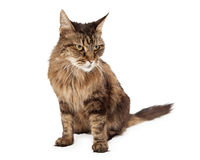 Angry Cat Looking To Side Royalty Free Stock Images