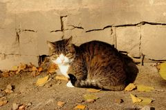 Angry cat looks at camera against concrete grey wall and fallen yellow leaves. Angry feline cat looks at camera against concrete grey wall and fallen yellow Stock Image