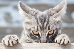 Angry Cat Looks In Front. Royalty Free Stock Photography