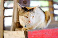 Angry Cat looks like Devil Cat. In Thailand Royalty Free Stock Images