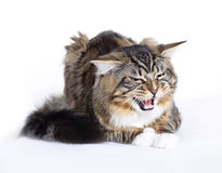 Angry Cat, Main coon. Maine Coon cat on white background Royalty Free Stock Photos