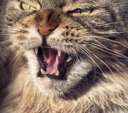 Angry cat muzzle Royalty Free Stock Photography