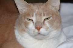Angry cat. Stock Photography