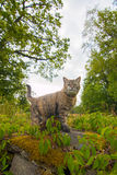 Angry cat. Patrolling its grounds royalty free stock images
