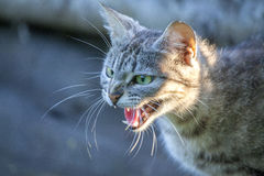 Angry cat. Photo of very angry cat Stock Photo