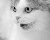 Angry cat. Portrait of angry cat close-up . B&W Royalty Free Stock Images