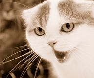 Angry cat. Portrait of angry cat close-up . Sepia Stock Photo
