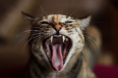 Angry cat. Portrait of angry hissing cat showing teeth royalty free stock images