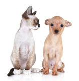 Angry cat with the scared puppy. Angry cat, Devon-rex breed with scared toy-terrier puppy royalty free stock photography