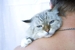 Angry cat on shoulder his owner Stock Photography