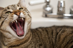Angry cat in the sink. An angry cat lying in a bathroom sink bares its fangs, selective focus on fangs stock photography