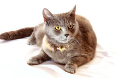 Angry cat sits on white background Stock Photos