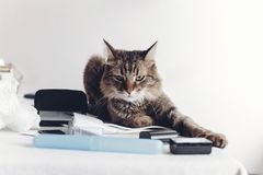 Angry cat sitting on table with work items, funny moment. cat fr. Eelancer at home. space for text royalty free stock image