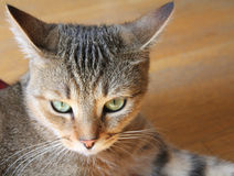 Angry cat. Angry tabby cat with green eyes portrait stock image