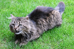 Angry Cat. Angry threatening cat on the green grass royalty free stock photo