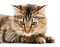 Angry cat on white background Royalty Free Stock Photos