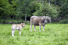 An angry caw with its calf. An angry cow with its calf in the country, Asturias, Spain Stock Photos