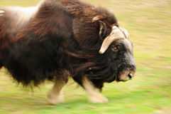 Angry charging bull. Angry muskox charging at high speed, motion blur with focus on the head stock image