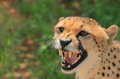 Angry cheetah Royalty Free Stock Image