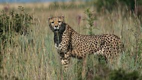 Angry cheetah in nature Stock Photography