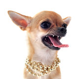 Angry chihuahua Stock Photography