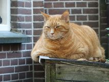 Funny angry fat cat Royalty Free Stock Images