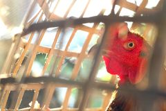 Angry cock showing red head. Angry cock showing red head and looking out of the cage Stock Photo