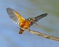 Angry common kingfisher Stock Photos