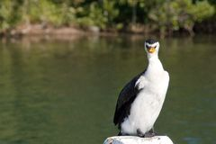 Angry Cormorant Bird standing on a post. Royalty Free Stock Image