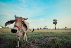Angry cow Stock Images