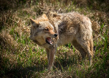 Free Angry Coyote With Open Mouth Royalty Free Stock Photos - 53793588